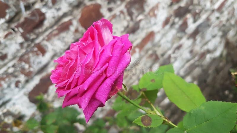 naturaleza color de rosa fotografía de archivo libre de regalías