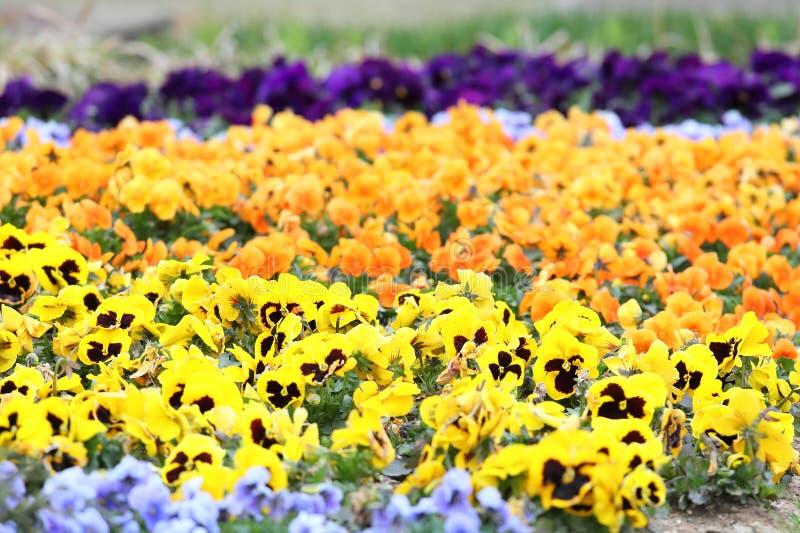 Naturaleza colorida del jardín de la planta de la flor de la viola del pensamiento foto de archivo libre de regalías