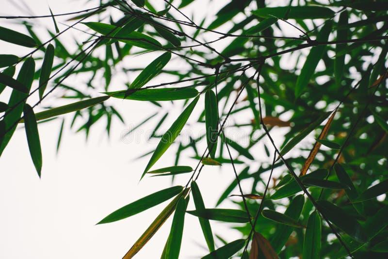 Naturaleza de bambú del bosque Japón, China Planta Ponga verde el árbol con las hojas imagen de archivo