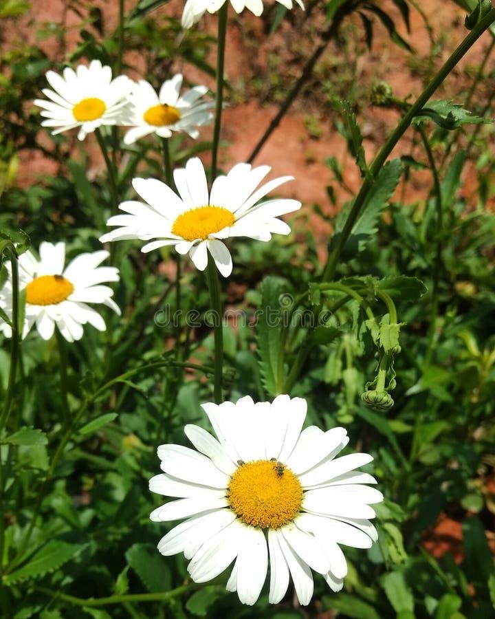 Naturaleza de la flor de Margarita de la margarita fotografía de archivo libre de regalías
