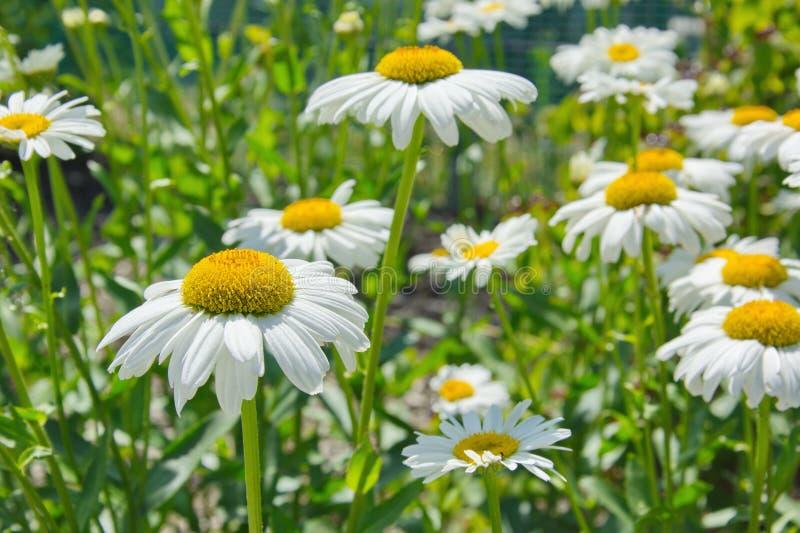 Naturaleza de la flor del flor de la manzanilla imagen de archivo