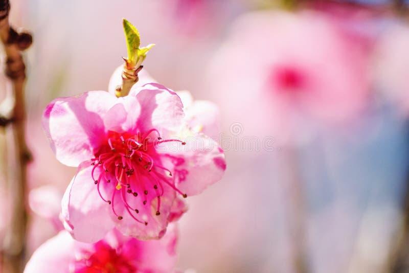Naturaleza de la primavera, flor del melocotón, flores rosadas en las ramas en un día soleado, postal hermosa imágenes de archivo libres de regalías