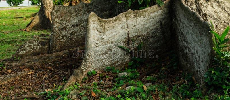 Naturaleza de la raíz del contrafuerte en bosque verde fotos de archivo