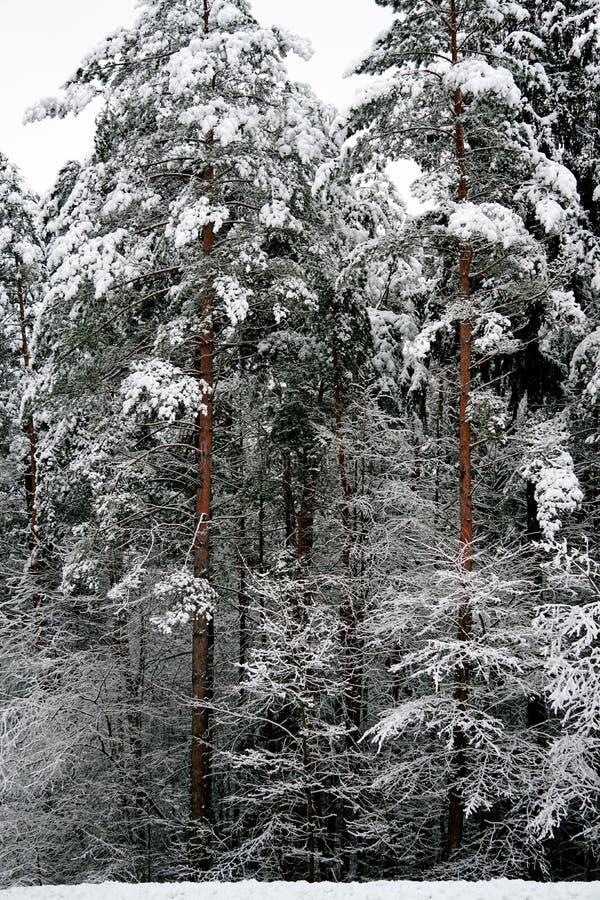 Naturaleza del invierno la primera nieve en el bosque fotografía de archivo libre de regalías