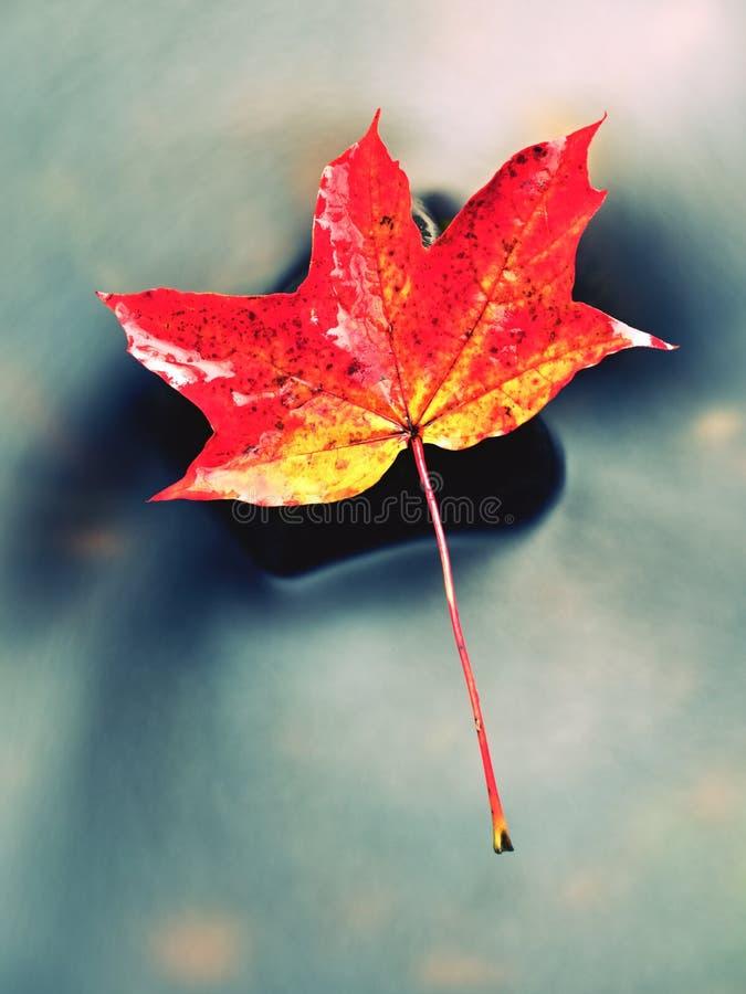 Naturaleza del otoño Detalle de la hoja de arce putrefacta del rojo anaranjado Hoja de la caída en piedra fotos de archivo