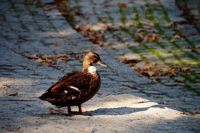naturaleza del pato del otoño imagenes de archivo