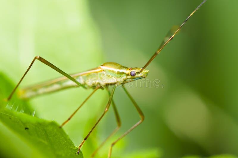 naturaleza del verde del insecto de las Papá-largo-piernas imagen de archivo libre de regalías