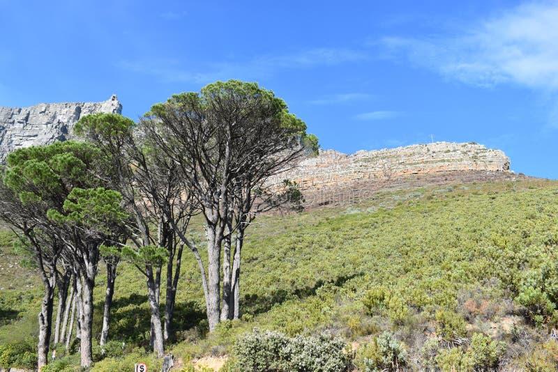 Naturaleza hermosa con los árboles grandes en la manera a la montaña de la tabla en Cape Town, Suráfrica fotografía de archivo libre de regalías