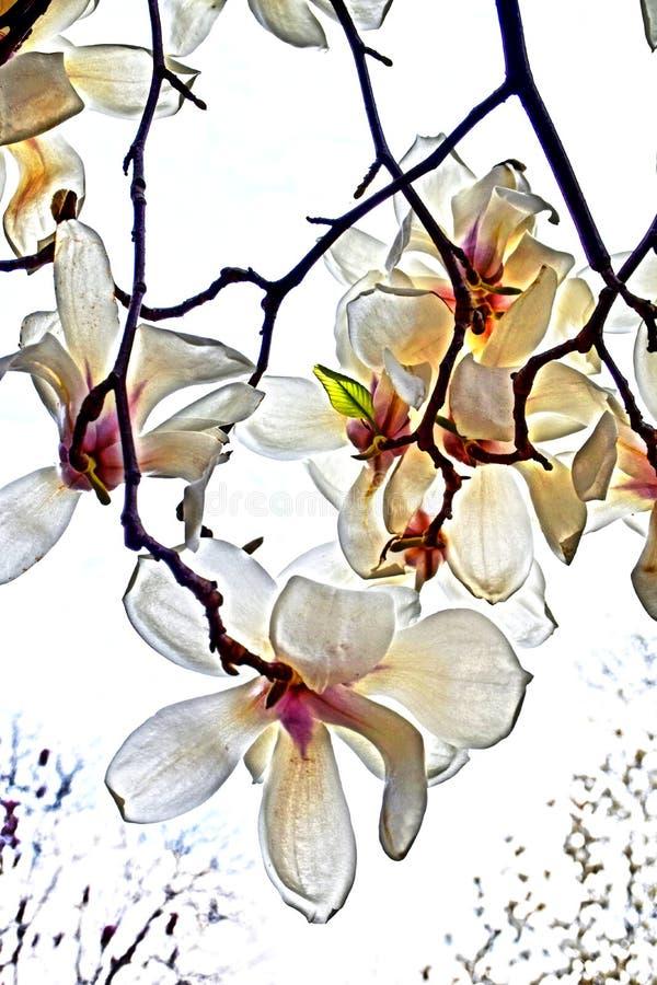 Naturaleza hermosa de la magnolia blanca que florece bajo luz del sol en el d?a de primavera stock de ilustración