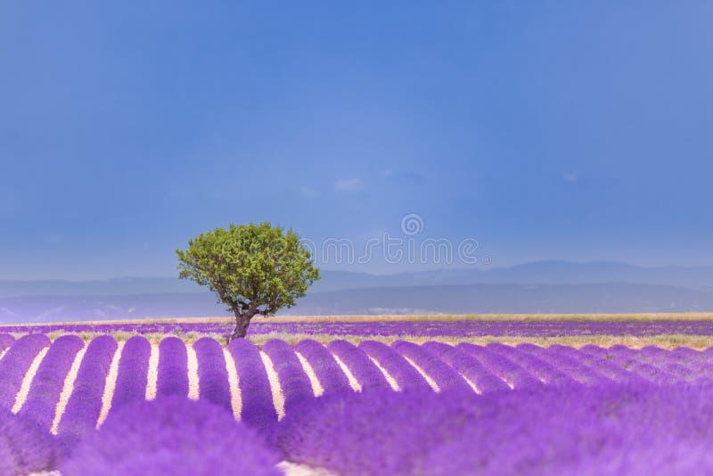 Naturaleza hermosa del verano Paisaje de la puesta del sol del verano del campo de la lavanda cerca de Valensole Provence, Franci imagen de archivo libre de regalías