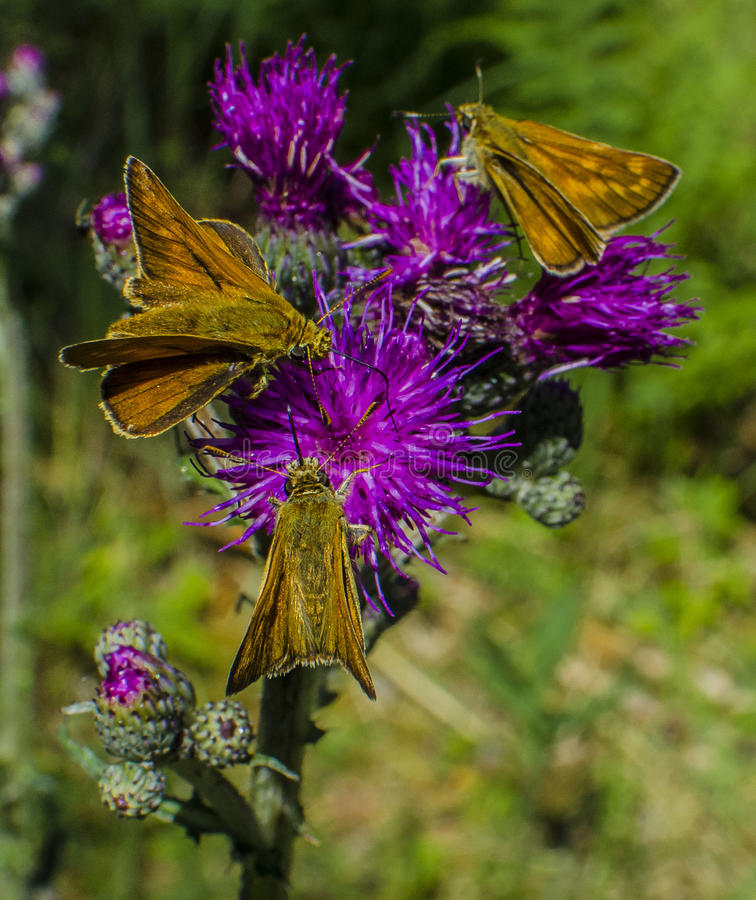 Naturaleza/mariposa asombrosas fotografía de archivo libre de regalías