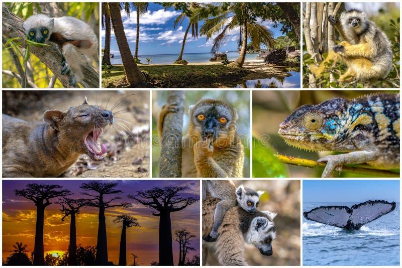 Naturaleza, paisaje, animales de la vida silvestre de Madagascar - conjunto de collages fotografía de archivo libre de regalías