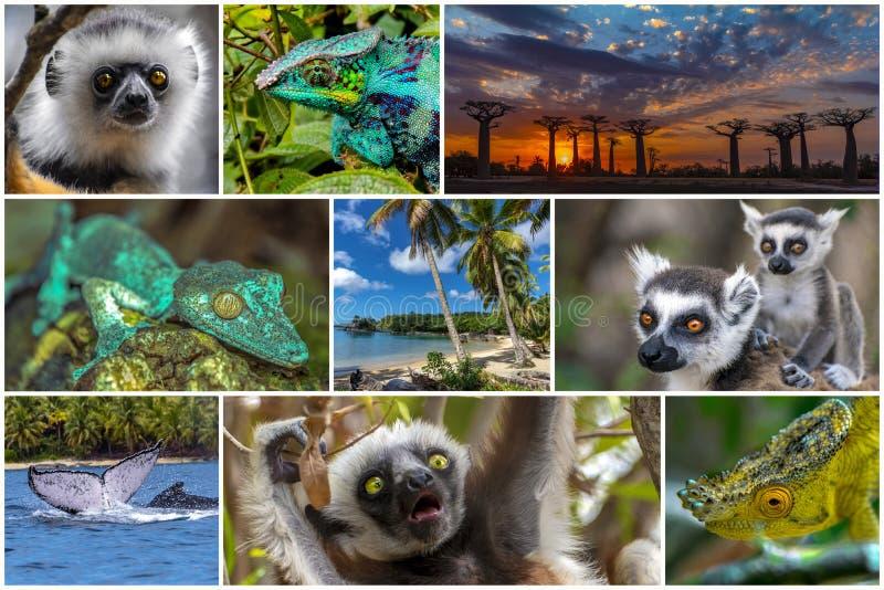 Naturaleza, paisaje, animales de la vida silvestre de Madagascar - conjunto de collages foto de archivo
