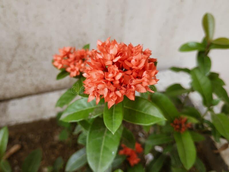 naturaleza roja de la flor foto de archivo libre de regalías