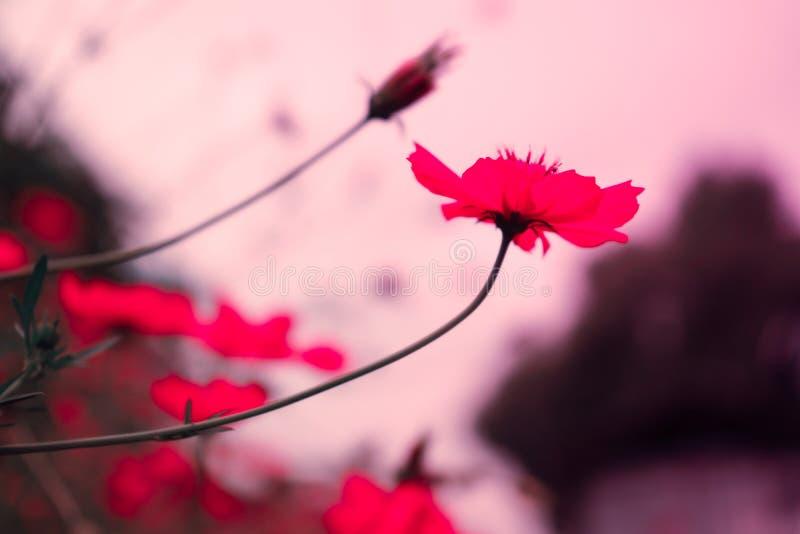 Naturaleza rosada del fondo de la flor en la primavera o el verano Floración de la belleza fotos de archivo