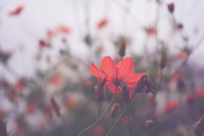 Naturaleza rosada del fondo de la flor en la primavera o el verano Floración de la belleza fotografía de archivo libre de regalías