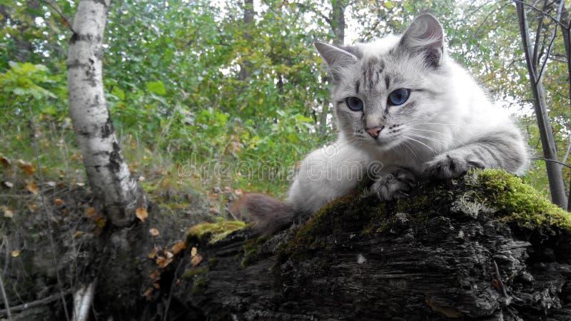 Naturaleza salvaje de los ojos azules del gato foto de archivo