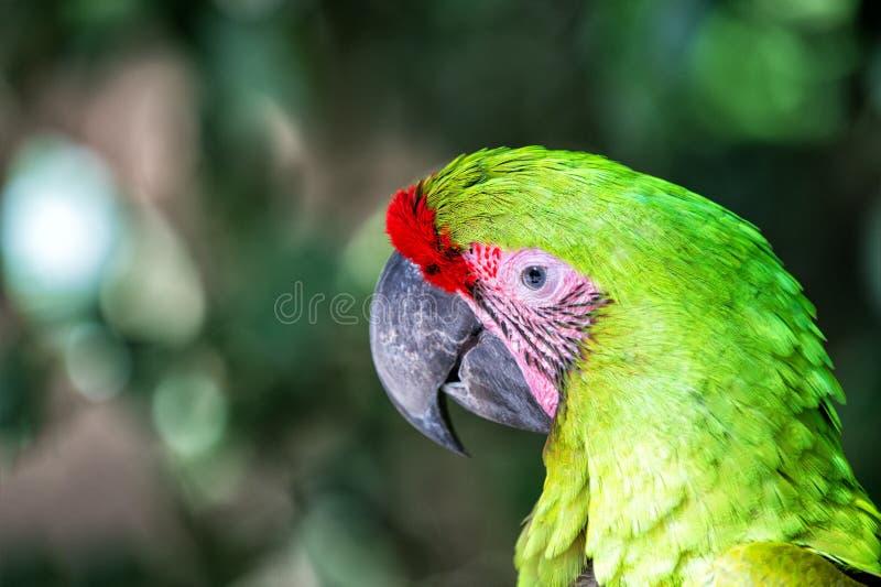 Naturaleza salvaje Loro vibrante en Roatan Honduras Concepto de la biodiversidad Pájaro tropical del loro verde Coloreado vivo imagen de archivo