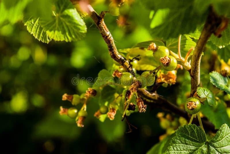 Naturaleza verde, frutas inmaduras y hojas de la primavera imagenes de archivo