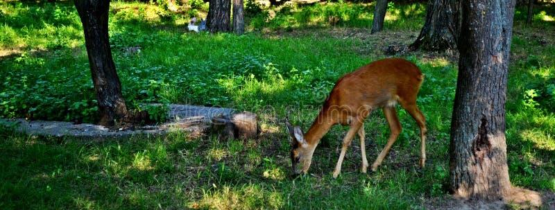 Naturaleza y ciervos imágenes de archivo libres de regalías