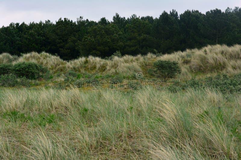 Naturaleza y plantación de piñas costeras en la distancia, mar septentrional, playa de Holkham, Reino Unido fotografía de archivo libre de regalías