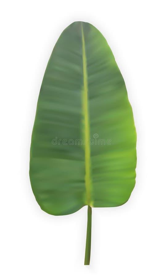 Naturalistyczny kolorowy liść bananowa palma również zwrócić corel ilustracji wektora ilustracja wektor