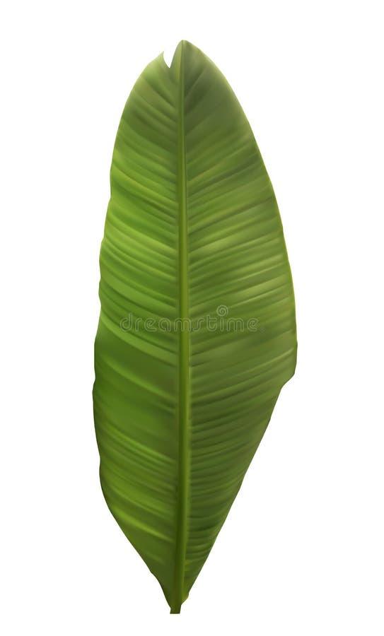 Naturalistyczny kolorowy liść bananowa palma również zwrócić corel ilustracji wektora royalty ilustracja