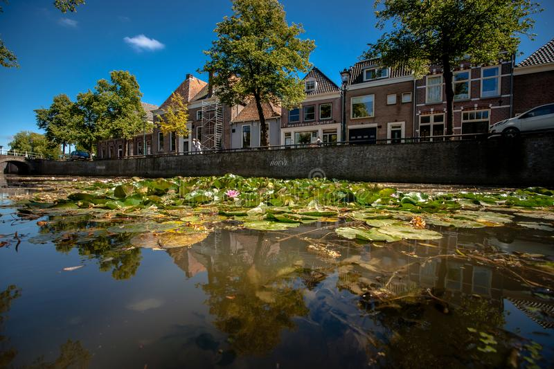 Naturally growing water plants in a Dutch city canal with flowing water and reflecting water surface. Large green water lilies in purple, pink, white colors and stock photography