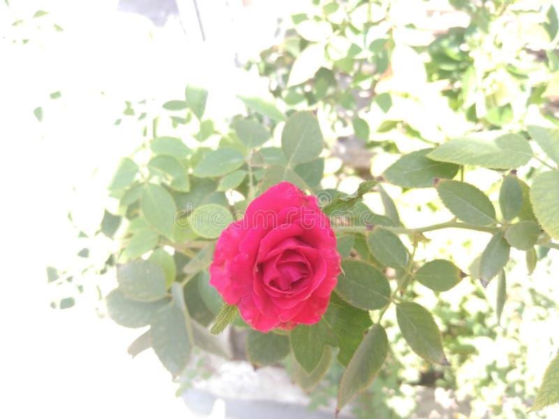 Naturalna fragrant róża kwiatu roślina w letnich dniach fotografia royalty free