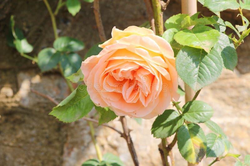 Naturalna menchii róża obraz royalty free