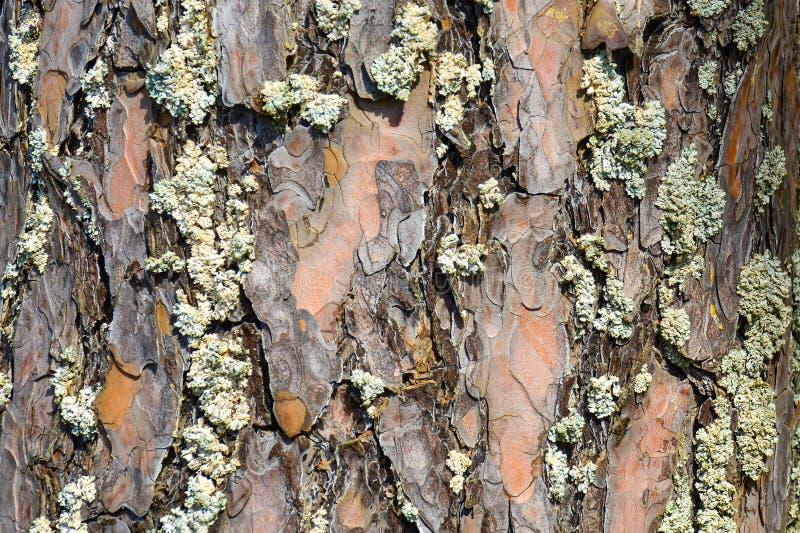 naturalna sosny barkentyny tekstura zamknięta w górę Drewniany t?o Drewniana tekstura fotografia stock