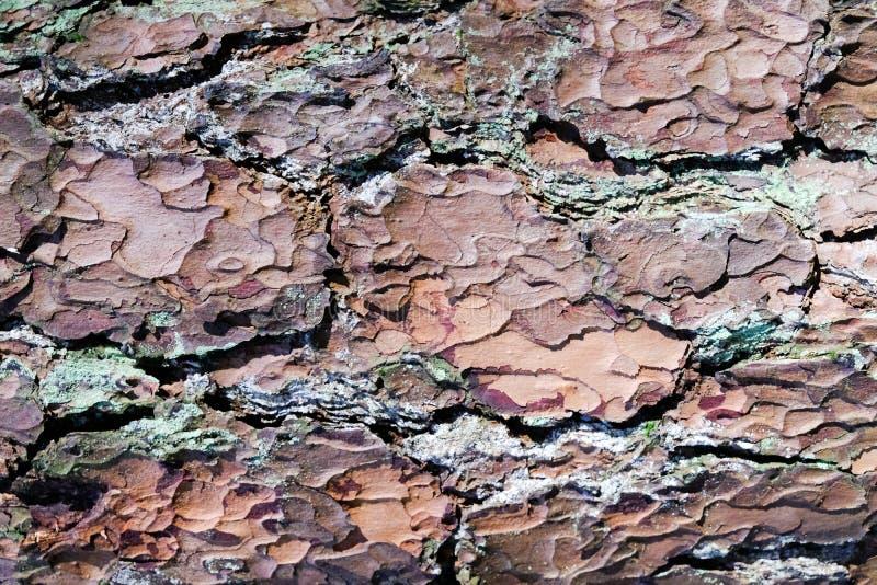 Naturalna stara brąz sosny barkentyny tekstura z mech Zamyka w górę tekstury od drzewnego bagażnika dla tła i projektuje obraz royalty free