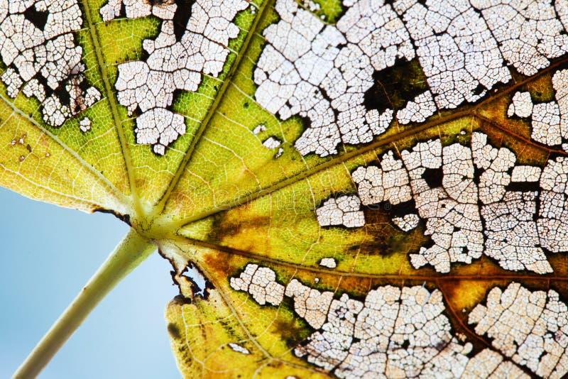 Naturalna variability kolorów zmiana w naturze Pięknej jesieni liścia lipowy kościec textured deseniowego makro- widok Zielony żó zdjęcia stock