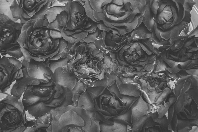 Naturalne czarne róże na wodnym tle zdjęcie royalty free