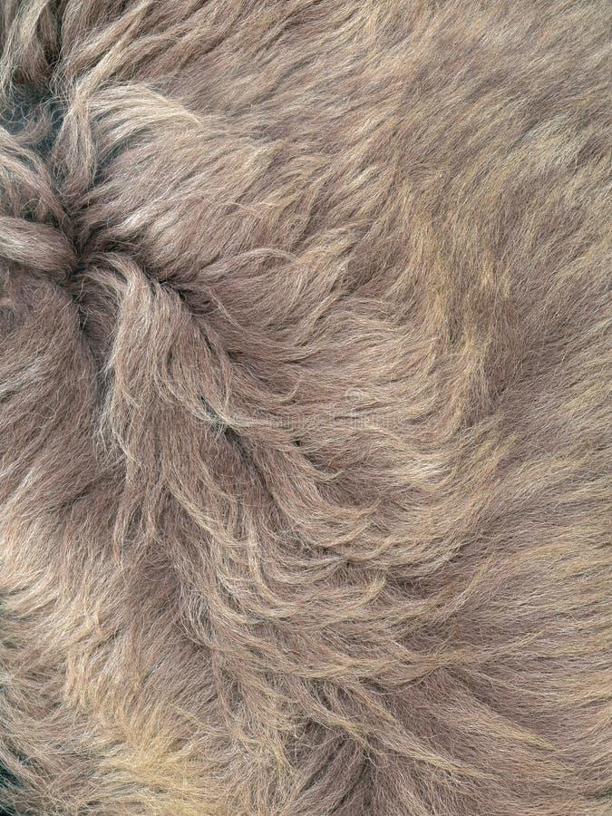Naturalnego wilka popielata futerkowa tekstura zdjęcie royalty free