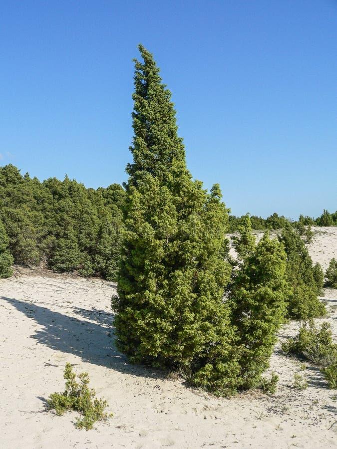 Naturalny środowisko śródziemnomorscy maquis Jałowcowy macrocarpa zdjęcie stock