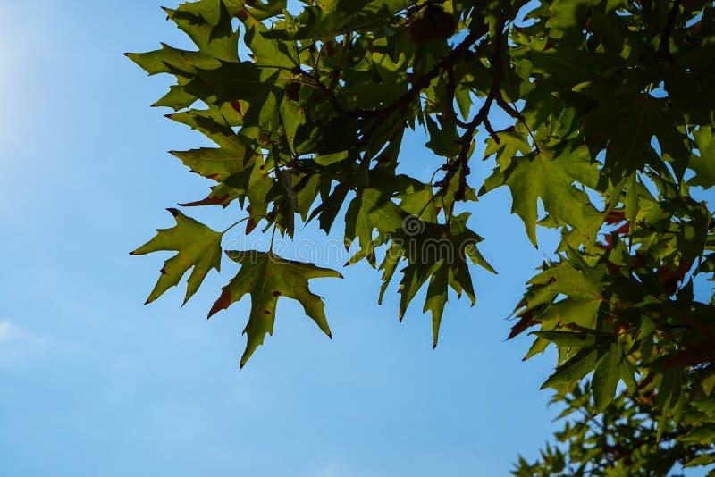 Naturalny świeży zielony liścia klonowego ulistnienie rozgałęzia się zbliżenie na słonecznym dniu z cieniem i jasnym niebieskiego obraz royalty free