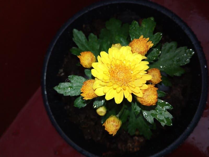Naturalny żółty kapuru kwiat sri lanka zdjęcia stock
