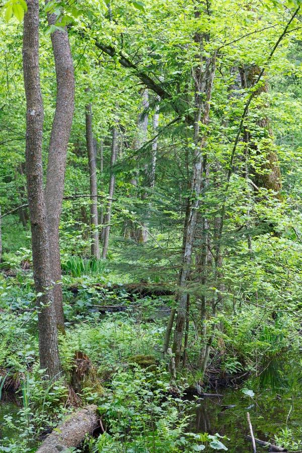 Naturalny bagienny las w wiośnie obraz stock