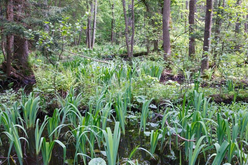 Naturalny bagienny las w wiośnie obrazy stock