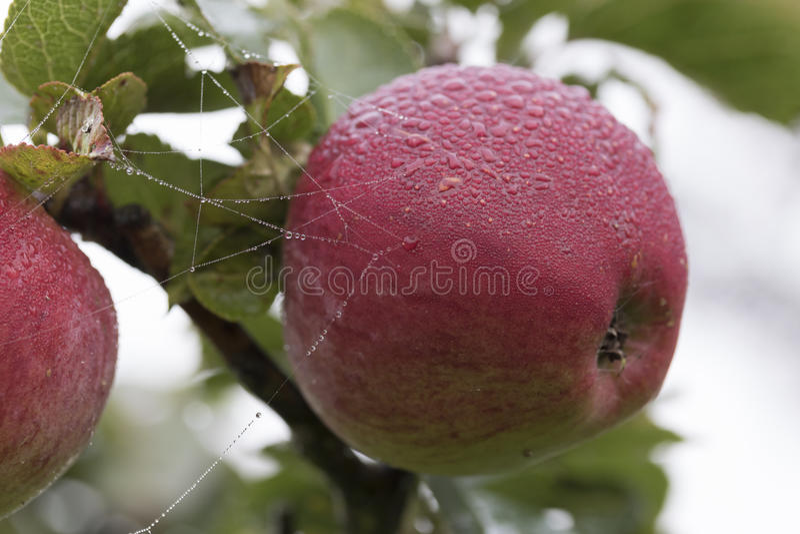 Naturalny Czerwony Apple z rosa kroplami zdjęcie royalty free