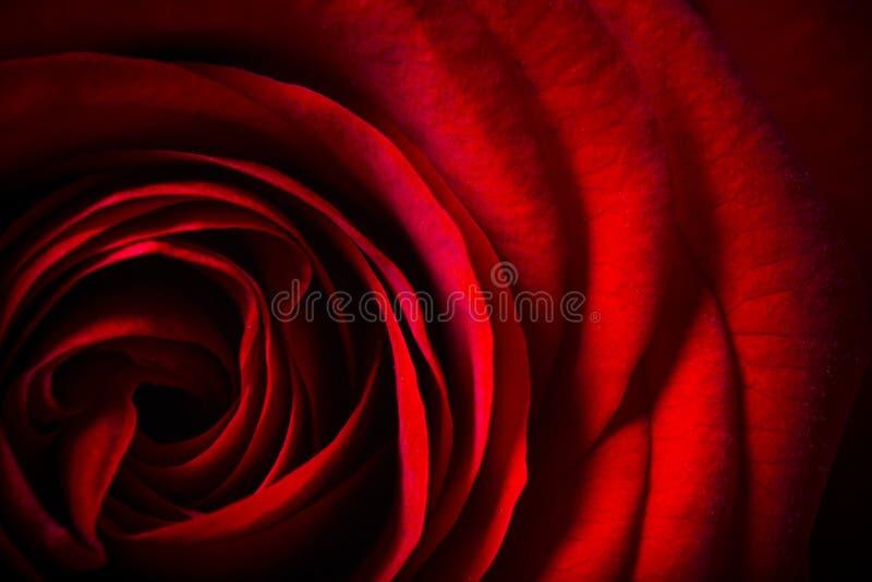 Naturalny czerwonych róż tło obrazy royalty free