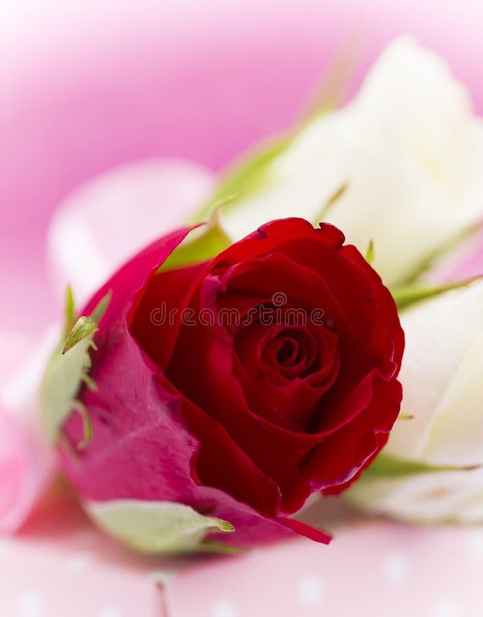 Naturalny czerwonych róż tło obrazy stock