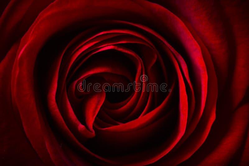 Naturalny czerwonych róż tło fotografia royalty free