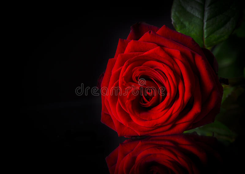 Naturalny czerwonych róż tło obraz royalty free