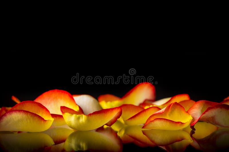 Naturalny czerwonych róż tło zdjęcia royalty free