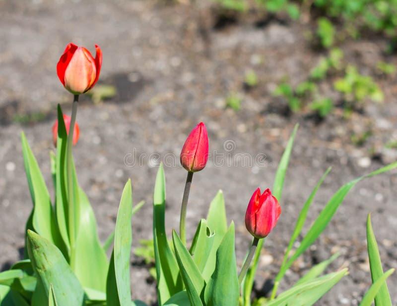 Naturalny czerwonych róż tło fotografia stock