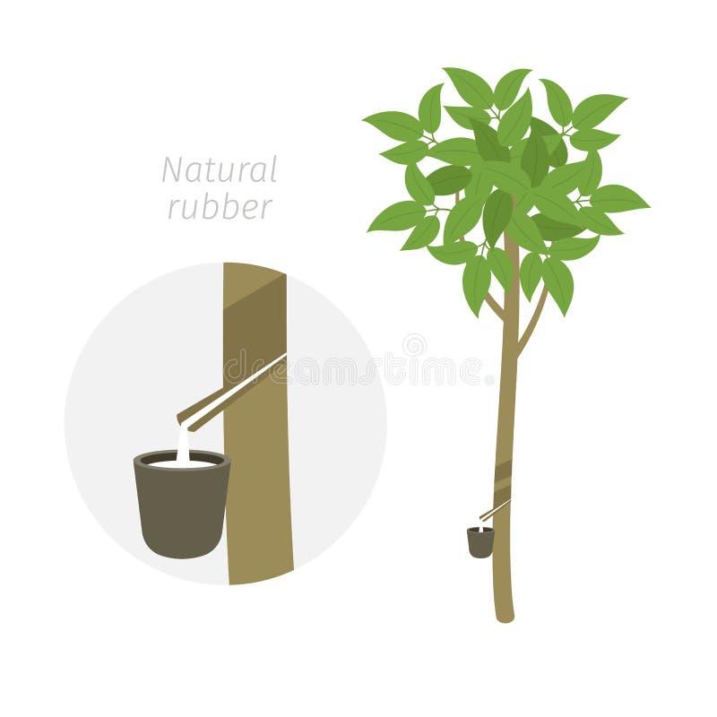 Naturalny gumowego drzewa rośliny przyrost Caoutchouc seringueira Hevea brasiliensis Milky lateks wydobujący ilustracja wektor