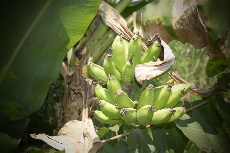 Naturalny indyjski organicznie banan zdjęcia royalty free