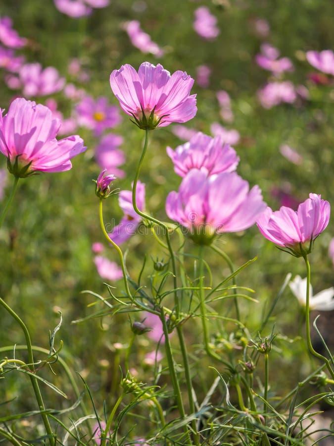 Naturalny kosmosu kwiat w polu fotografia royalty free